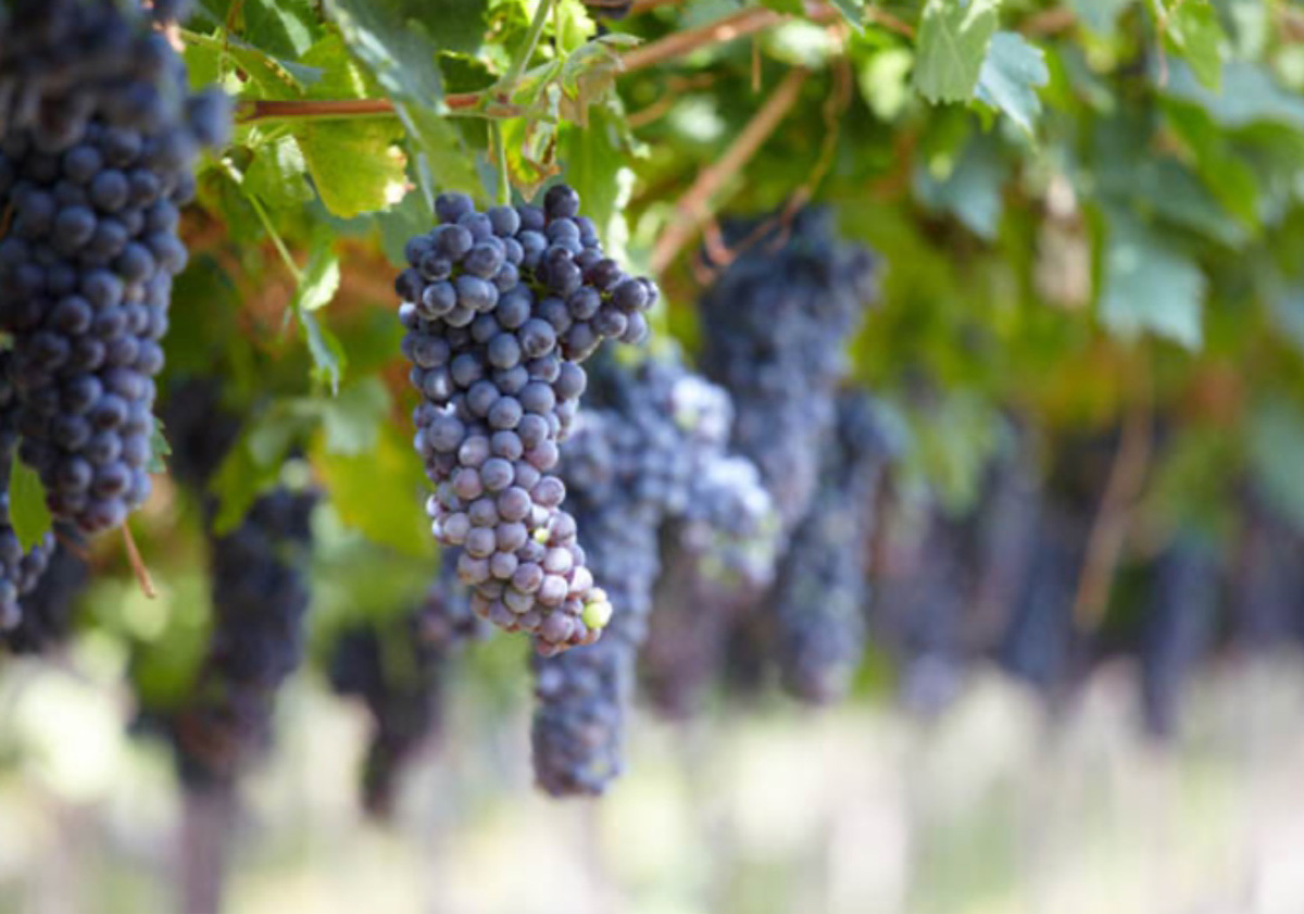 Corvina grapes on the vine - Veneto