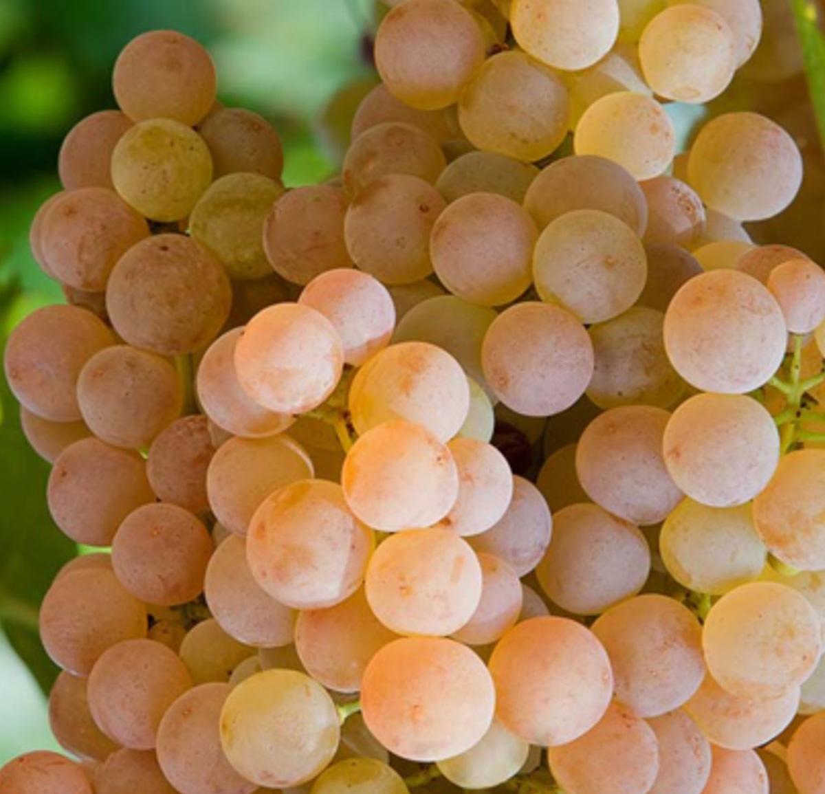 Garganega grapes - Veneto