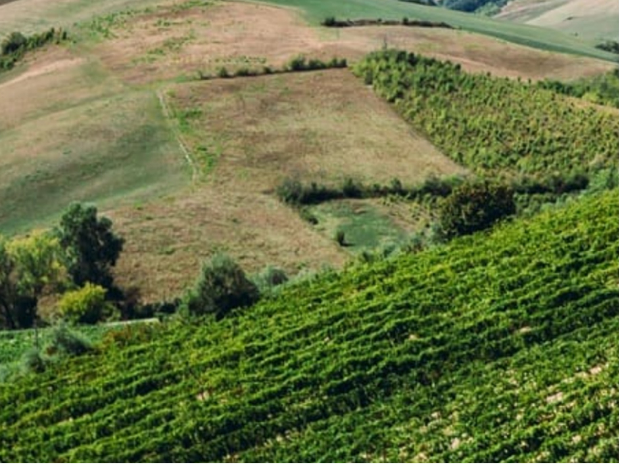 Grechetto Gentile growing on the Colli. Photo by Terre Cevico