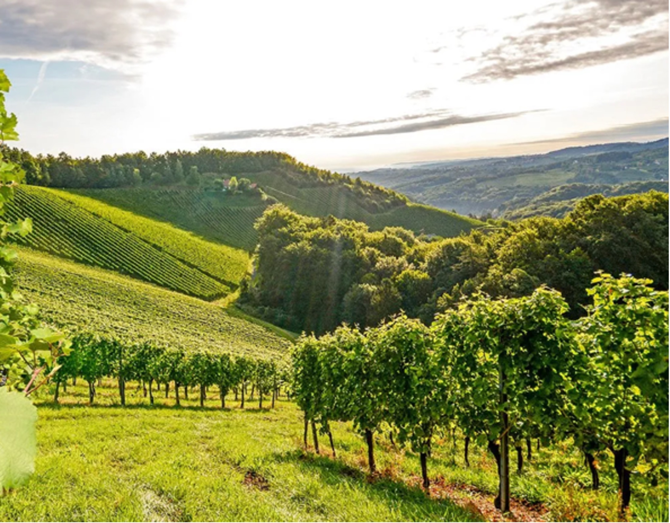 Vineyards in Colli Piacentini. Photo by Cantina di Vicobarrone